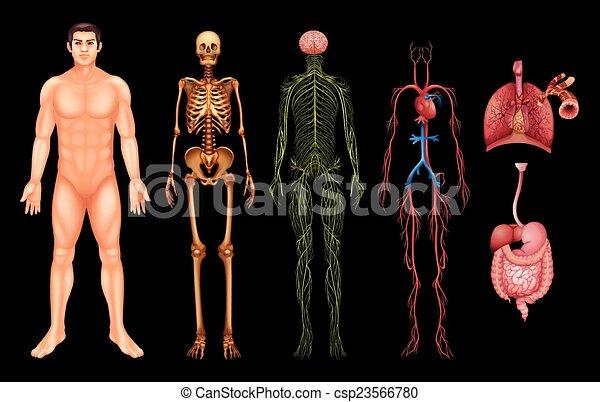 Menschliche Körpersysteme - csp23566780