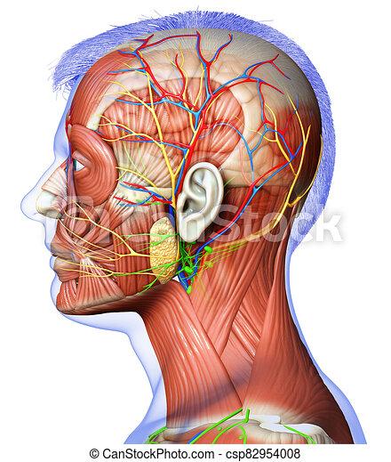 koerperbau, übertragung, 3d, kopf, mann, bildung, abbildung medizinisch - csp82954008