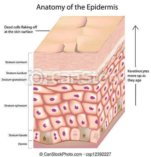 3d Anatomie des Epidermis - csp12392227