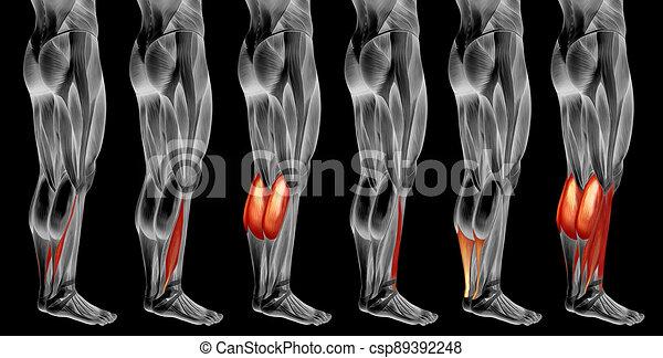koerperbau, 3d, muskel, oder, satz, sammlung, unterschenkel, anatomisch, menschliche  - csp89392248