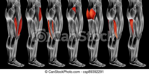 koerperbau, 3d, muskel, oder, satz, sammlung, bein, höher, anatomisch, menschliche  - csp89392291