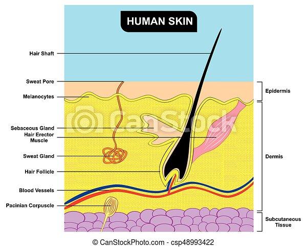 Das Anatomiediagramm der menschlichen Haut - csp48993422