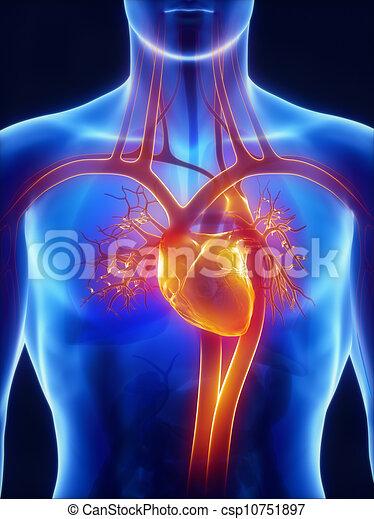 Anatomie des Kreislaufsystems - csp10751897
