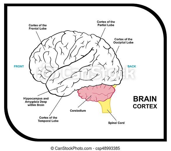 Menschliches Gehirn Anatomiediagramm - csp48993385