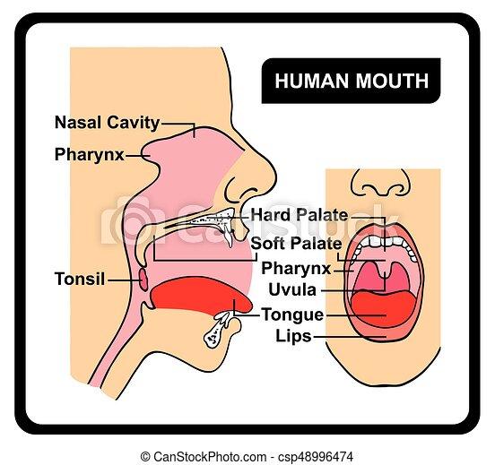 Menschliche Mund-Anatomie-Diagramm - csp48996474