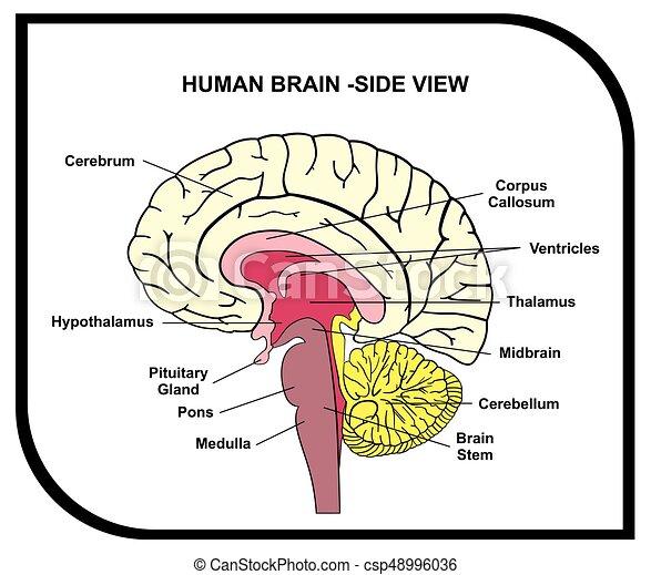 Menschliches Gehirn Anatomiediagramm - csp48996036