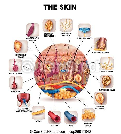 Hautanatomie - csp26817042