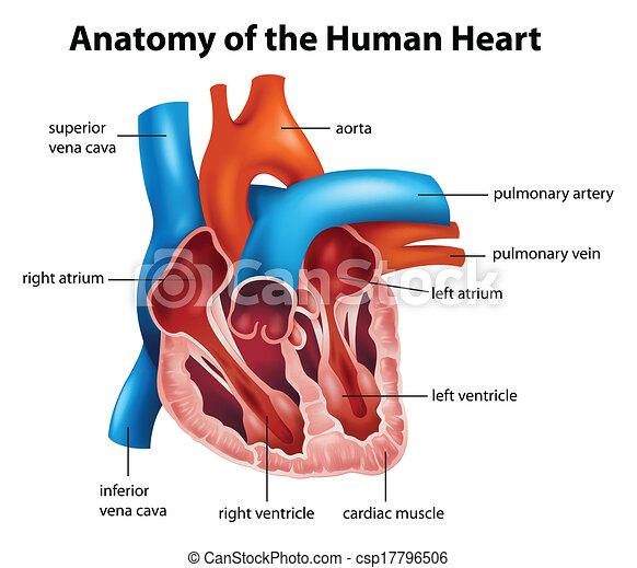 Menschliche Herzanatomie - csp17796506