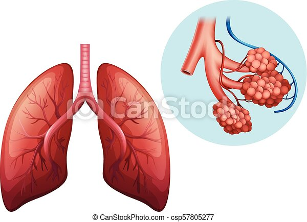 koerperbau, lunge, menschliche  - csp57805277