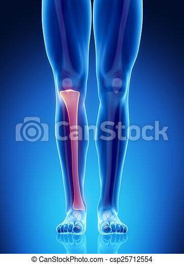 Männliche Knochen Anatomie Tibia - csp25712554