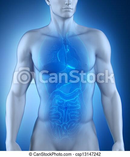Männliche Organe Anatomie - csp13147242