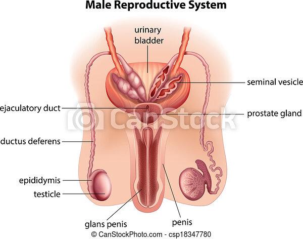 koerperbau, mann, system, reproduktiv - csp18347780