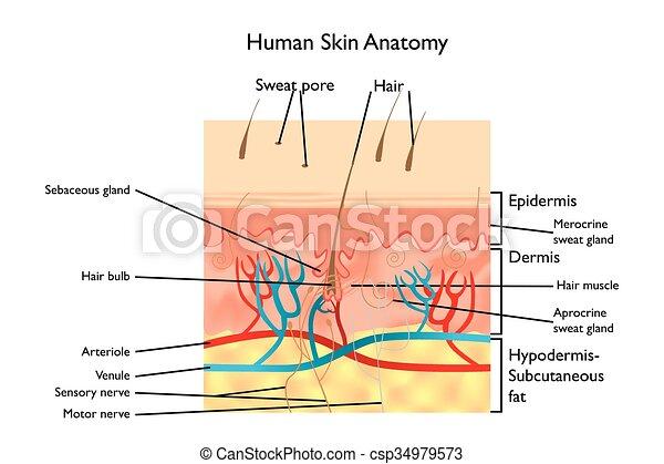 Die Anatomie der menschlichen Haut - csp34979573