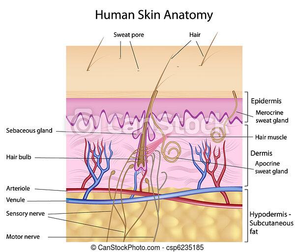 Menschliche Haut-Anatomy - csp6235185
