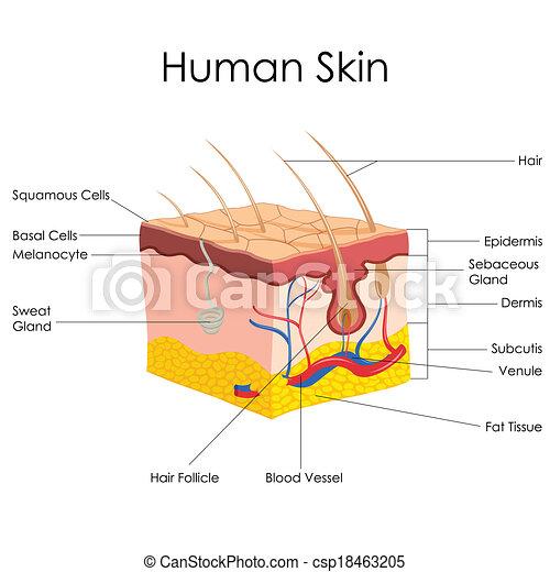 Die Anatomie der menschlichen Haut - csp18463205