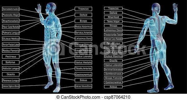 koerperbau, menschliche , hintergrund, muskel, 3d, schwarz, freigestellt, text, mann - csp87064210