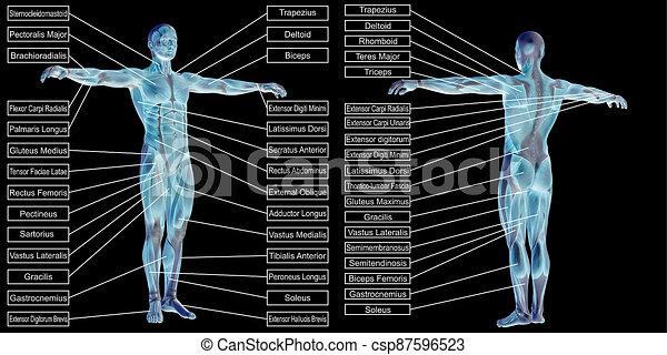 koerperbau, menschliche , mann, 3d, text, muskel - csp87596523