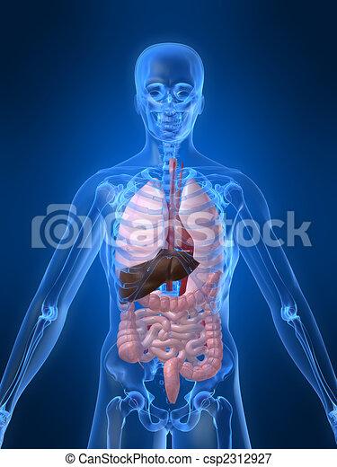 Menschliche Anatomie - csp2312927