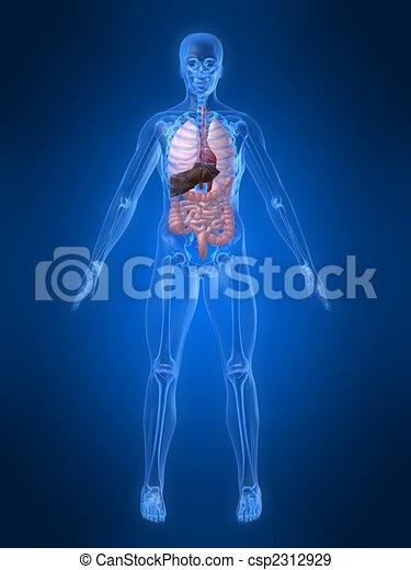 Menschliche Anatomie - csp2312929