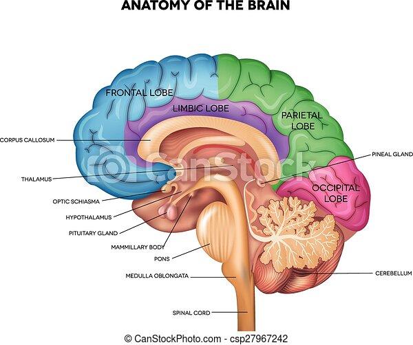 Gehirnanatomie - csp27967242