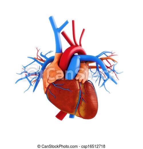 Menschliche Herz-Anatomie-Illustration - csp16512718