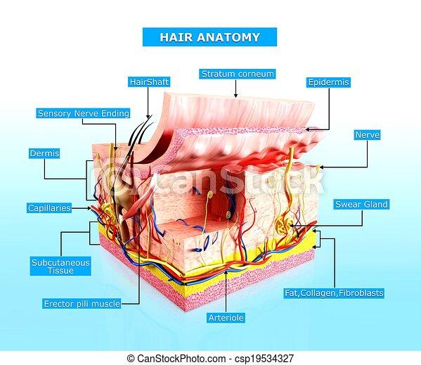 Menschliche Hautschicht Anatomie - csp19534327