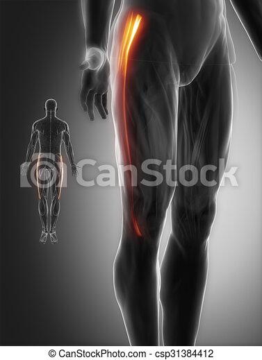 Tensor fasciae latae - Anatomie Muskeln Karte - csp31384412