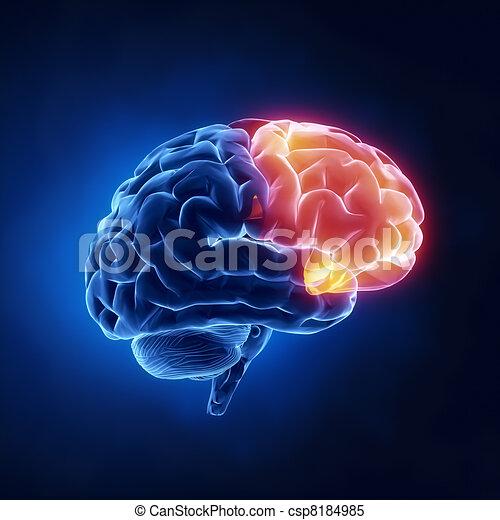 Frontallappen - menschliches Gehirn im Röntgenbild - csp8184985