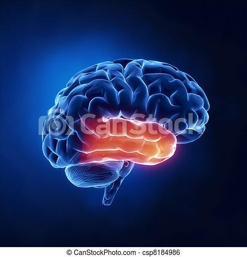 lappen, zeitlich, -, gehirn, menschliche , röntgenaufnahme, ansicht - csp8184986