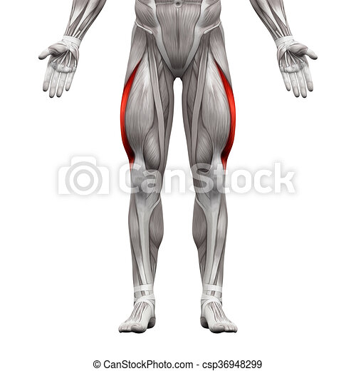 Vastus lateralis Muskel - Anatomie Muskeln isoliert auf weiß - 3D Illustration - csp36948299