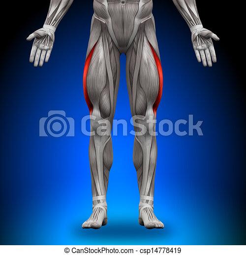 Vastus lateralis - Anatomiemuskeln - csp14778419