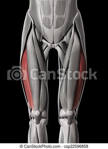 Vastus lateralis - csp22596858