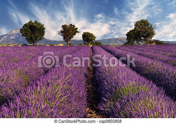 Lavendelfeld in der Beweislage, Fran - csp0855858