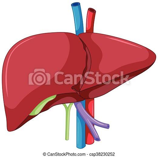 Leberanatomie des menschlichen Körpers. - csp38230252