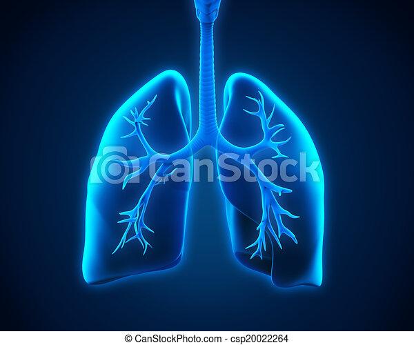 Lung und Bronchi - csp20022264