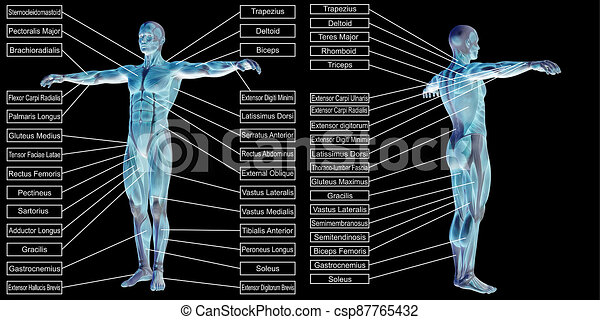 mann, 3d, text, menschliche anatomie, muskel - csp87765432