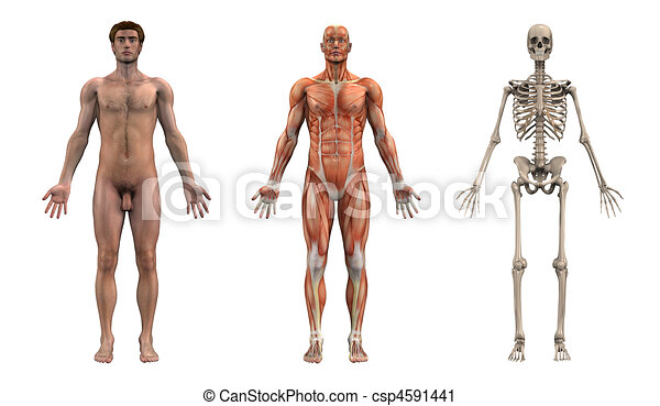mann, anatomisch, overlays, -, erwachsener - csp4591441