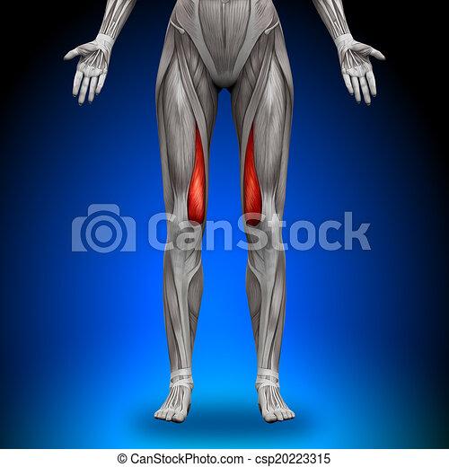 Vastus medialis - weibliche Anatomie - csp20223315