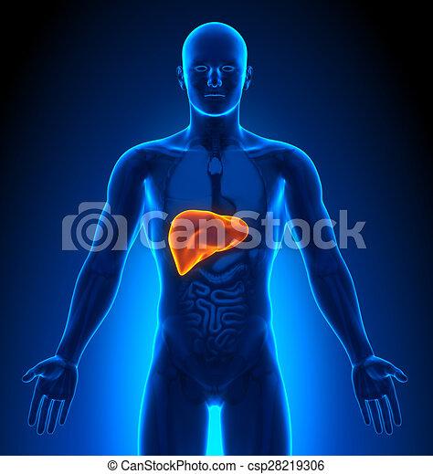 medizin, -, imaging, mann, organe, leber - csp28219306