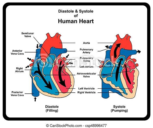 menschliche , systole, herz, diastole, diagramm - csp48996477