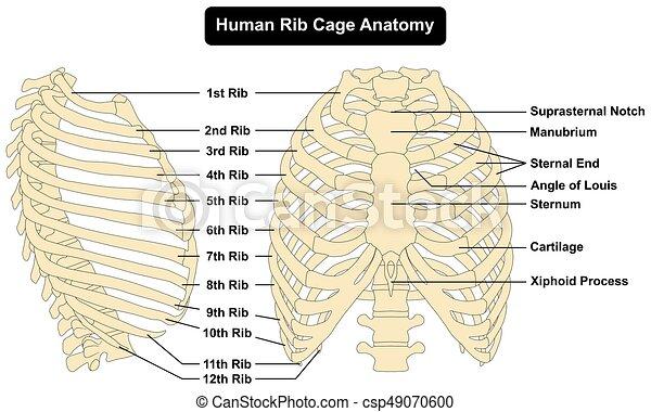 Menschliches Brustkorb-Anatomiediagramm. - csp49070600
