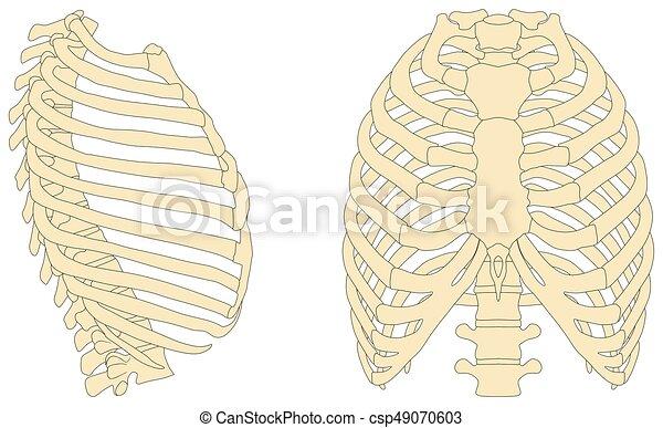 Menschliches Brustkorb-Anatomiediagramm. - csp49070603