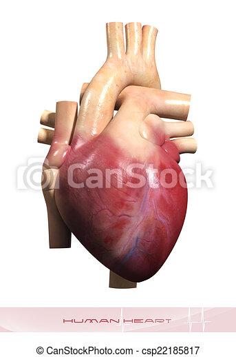 Menschliches Herz - csp22185817