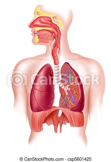 Menschliches volles Atmungssystem Querschnitt - csp5601425