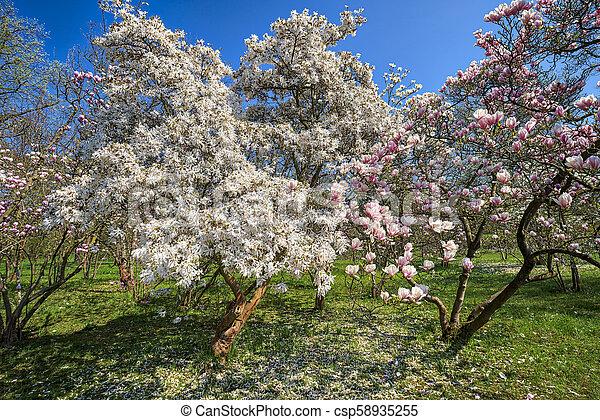 Mit Trage und rosa Magnolia Bäume im Frühling. - csp58935255