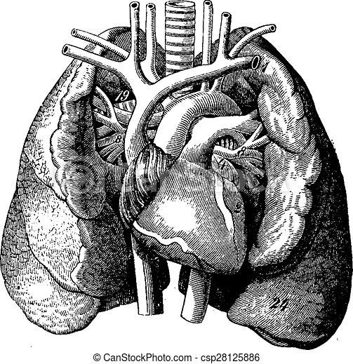 Das Herz in der Mitte der Lunge, die Gravur. - csp28125886