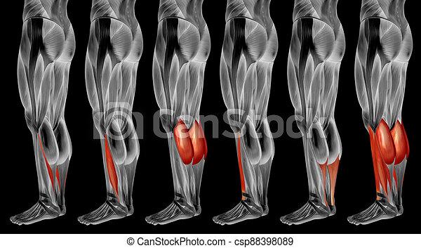 muskel, bein, anatomisch, 3d, sammlung, senken, satz, menschliche anatomie, oder - csp88398089