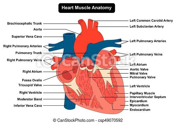 Menschliche Herzmuskelstruktur Anatomiediagramm - csp49070592