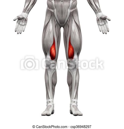 muskeln, vastus, medialis, -, freigestellt, abbildung, koerperbau, weißes, muskel, 3d - csp36948297