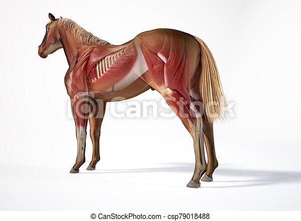 muskulös, pferd, system., anatomy. - csp79018488